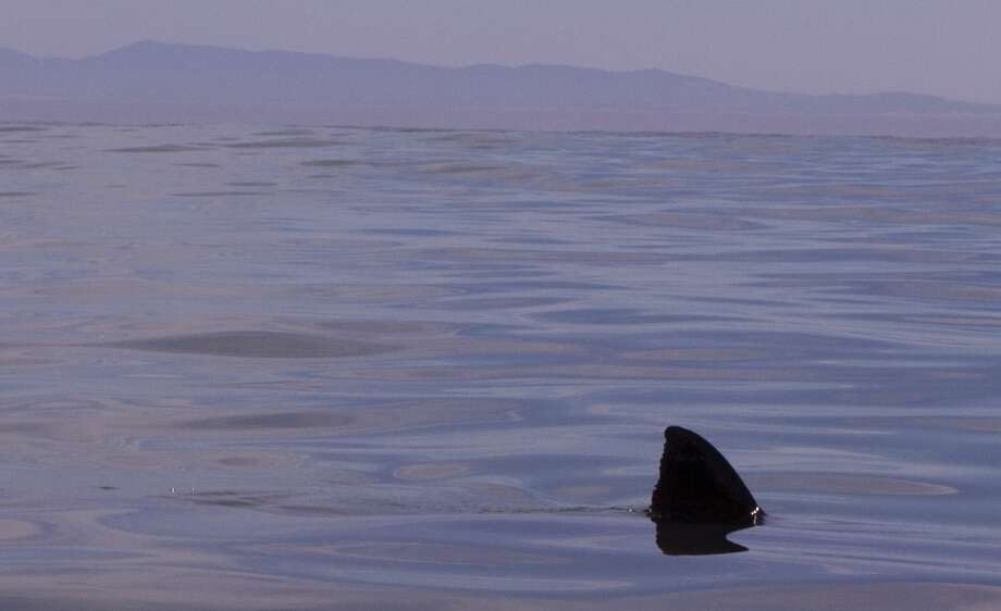 A dorsal fin from great white shark emerges from surface next to kayak Photo: Giancarlo Thomae, KayakWhaleWatching.com