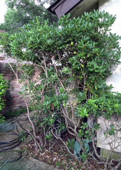 A standard pittosporum might recover from severe pruning, but it really needs a larger space. Photo: Courtesy Photo