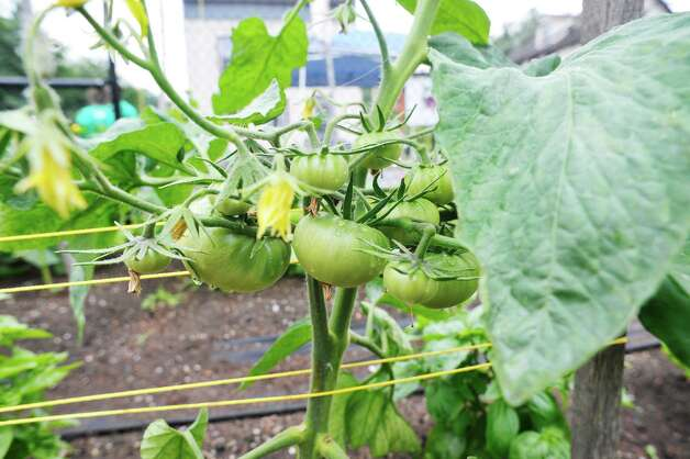Tomatoes are seen inside the garden during the grand opening of the Capital Roots Ida Street Community Garden on Wednesday, July 1, 2015, in Troy, N.Y.  The  Ida Street Community Garden is the 50th community garden started by Capital Roots.  The garden was created in collaboration with the Troy Little Italy Neighborhood Association and a variety of private individuals and families.    (Paul Buckowski / Times Union) Photo: PAUL BUCKOWSKI / 00032426A