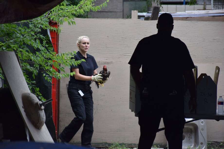 Authorities seized more than 50 roosters in a joint operation conducted by San Antonio Police and Animal Care Services at a home on the city's West Side Wednesday, July 1, 2015. Photo: By Mark D. Wilson/San Antonio Express-News