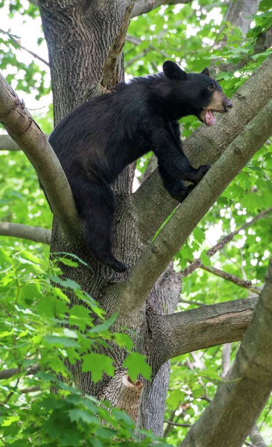 Officials caught up with a bear in a backyard tree at a Denise Terrace home Thursday of last week. It was tranquilized and removed from the yard for release in a more wooded area of the state. Photo: Mark Conrad / For Hearst Connecticut Media / Connecticut Post Freelance