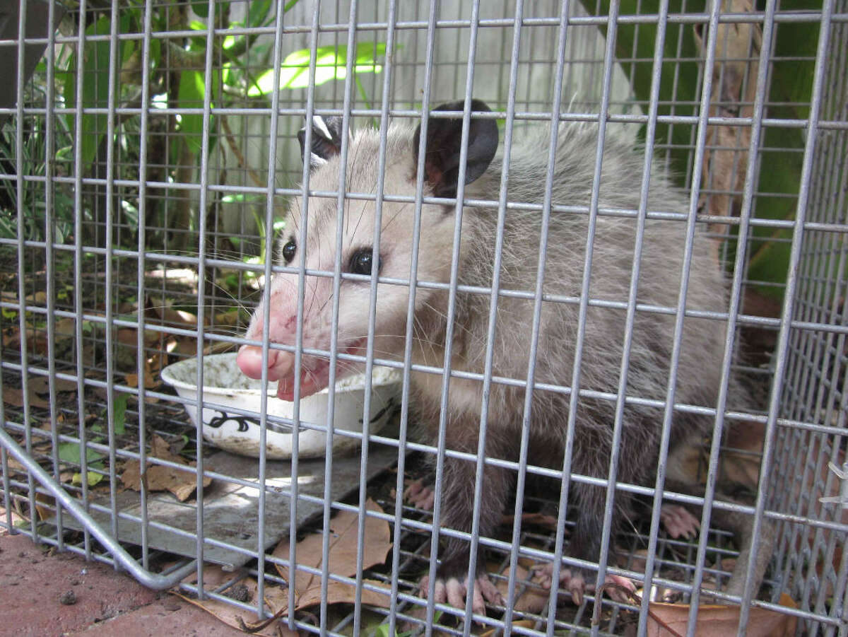 Two out of three opossums trapped in Galveston County in a recent study tested positive for marine typhus. The infection is on the rise in Texans, according to a new Baylor College of Medicine study.