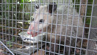Two out of three opossums trapped in Galveston County tested positive for marine typhus.