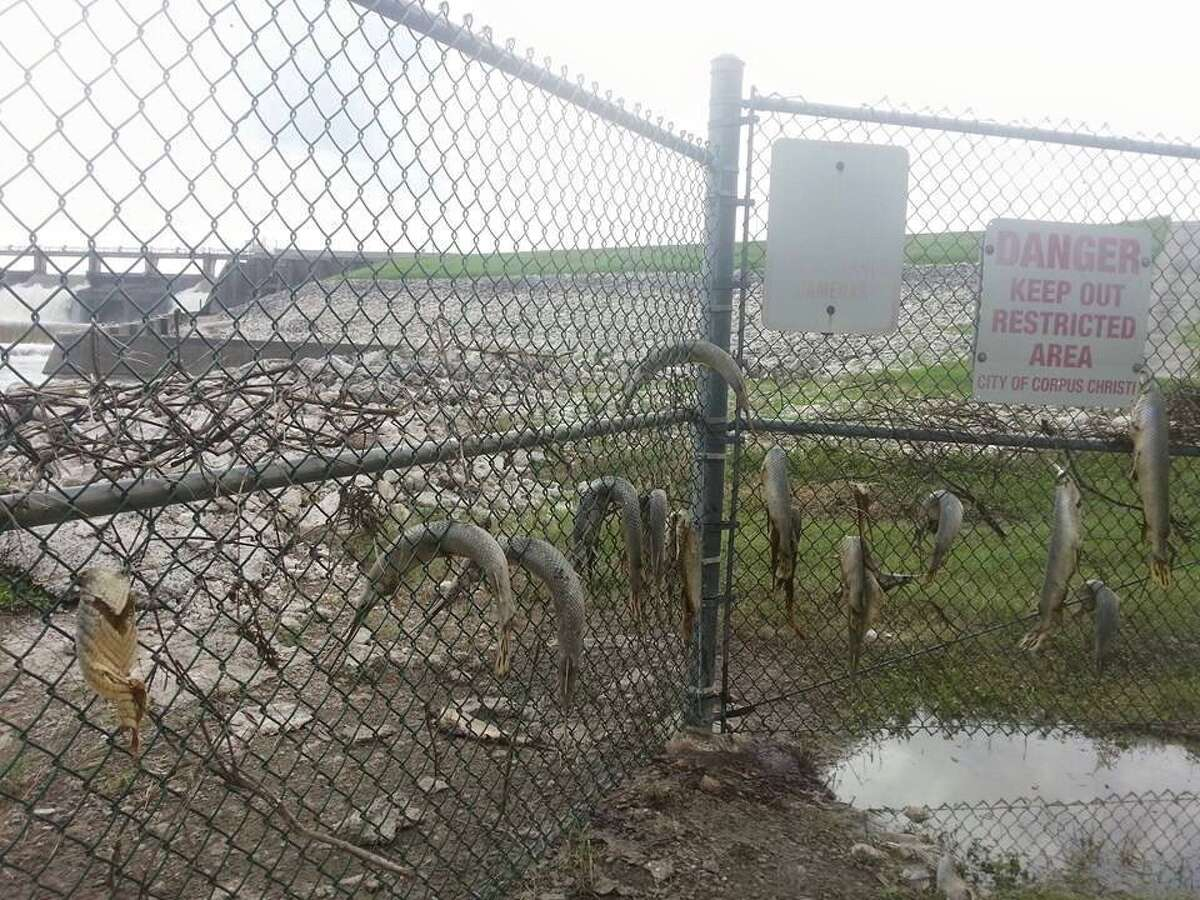 As of July 1, 2015, this photo of gar trapped in a chain-link fence has been seen over 1.5 million times on image sharing site Imgur.