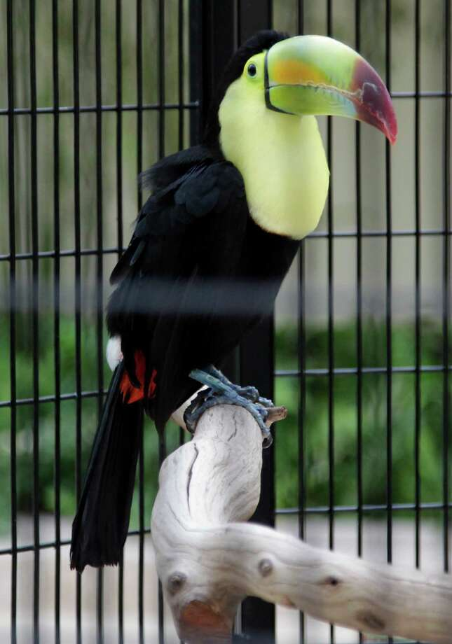 A Keel-Billed Toucan at the new Gallery Furniture store on Grand Parkway Wednesday, July 1, 2015, in Richmond. Photo: James Nielsen, Houston Chronicle / © 2015  Houston Chronicle