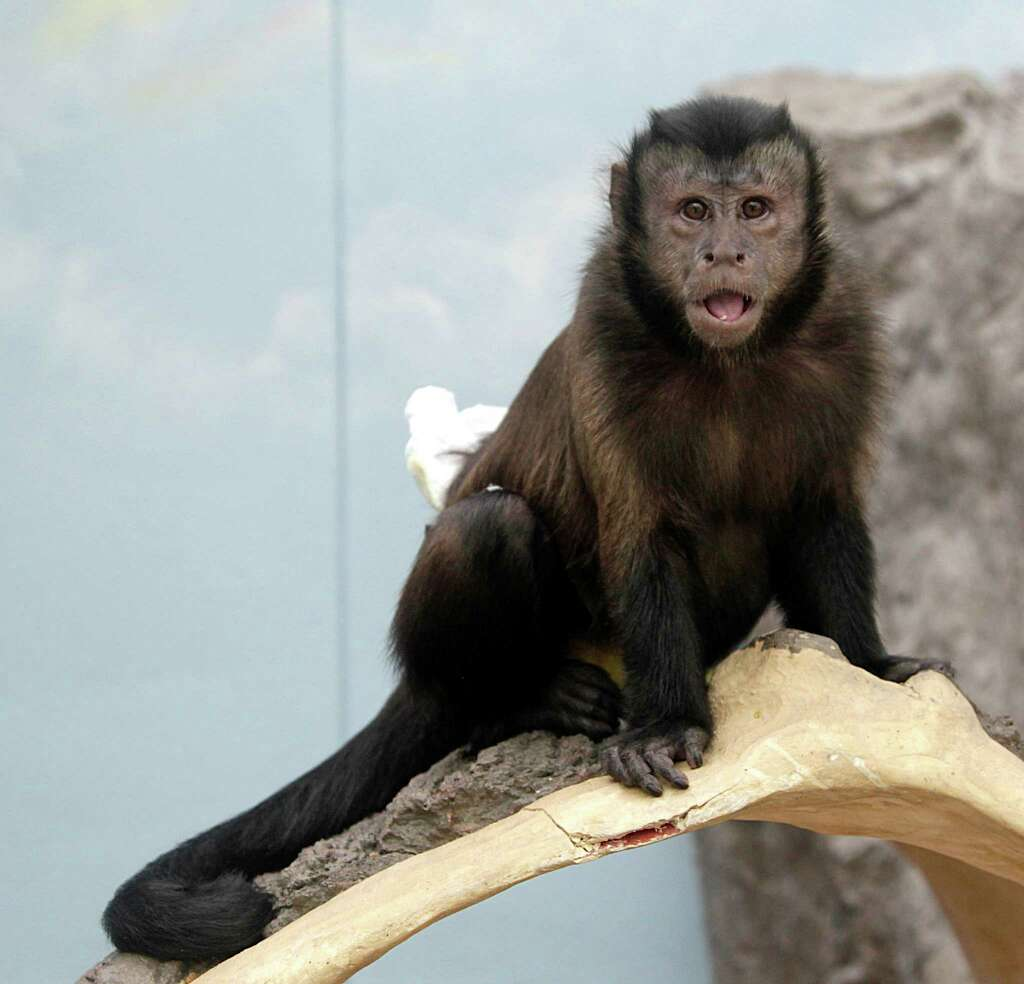 One Of The Tufted Capuchins At The New Gallery Furniture Store On Grand  Parkway Wednesday,