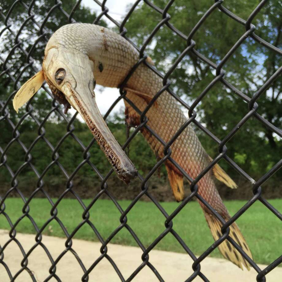 Longnose gar stuck in a chain-link fence in Dallas, Texas. Ruzo said most of the gar stuck in fences were about two feet long. Photo: Andrés Ruzo