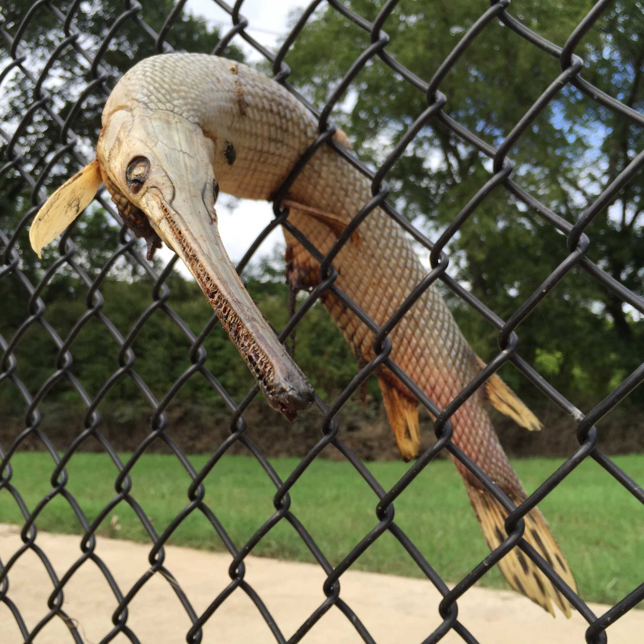 Crazy Photos Of Texas Longnose Gar Stuck In Fences That