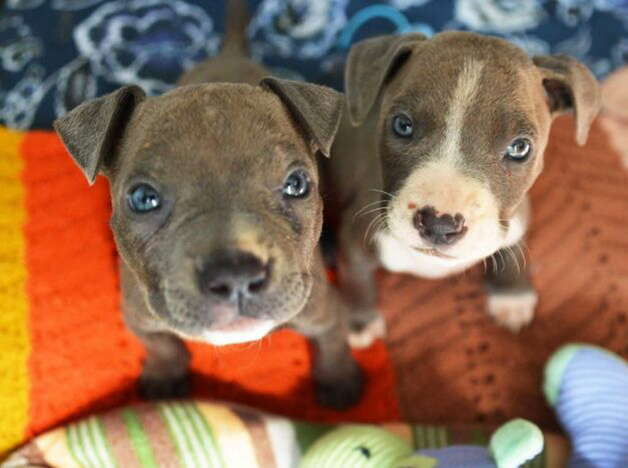 Two of the three pit bull puppies found mutilated and abandoned in Albany were seen at the Mohawk Hudson Animal Shelter, Tuesday Sept. 11, 2012, in Menands, N.Y.  (John Carl D'Annibale / Times Union) Photo: ALL