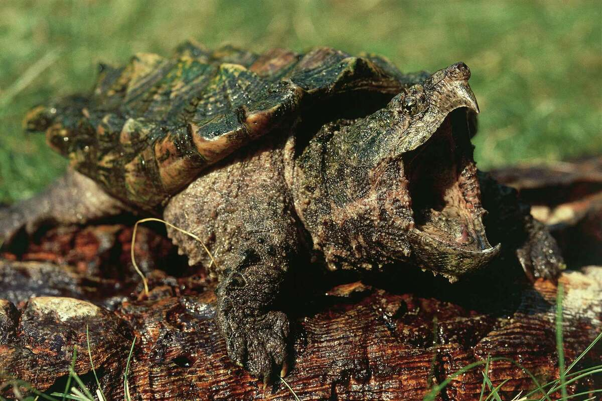 The alligator snapping turtleREAD MORE:8 facts about a modern dinosaur - the alligator snapping turtle