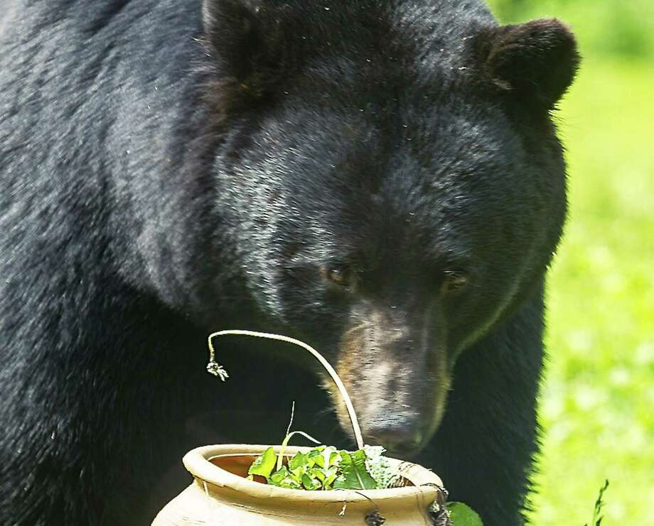 An appearance by a black bear in neighborhoods throughout the seven-town Greater New Milford area is not unusual. Yet few folks have captured such an up close and personal image of one of the four-legged critters as in this photo by Karen Chase of Kent. The photographer lives in the Macedonia section of Kent, not far from the New York state border, and was able to grab this image in June from her living room window. For more bear photos, visit www.newmilfordspectrum.com. Photo: Contributed Photo / Copyright 2013
