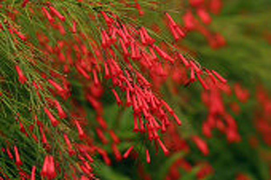 Firecracker plant blooms in a shower of red. Photo: Getty Images / Perspectives