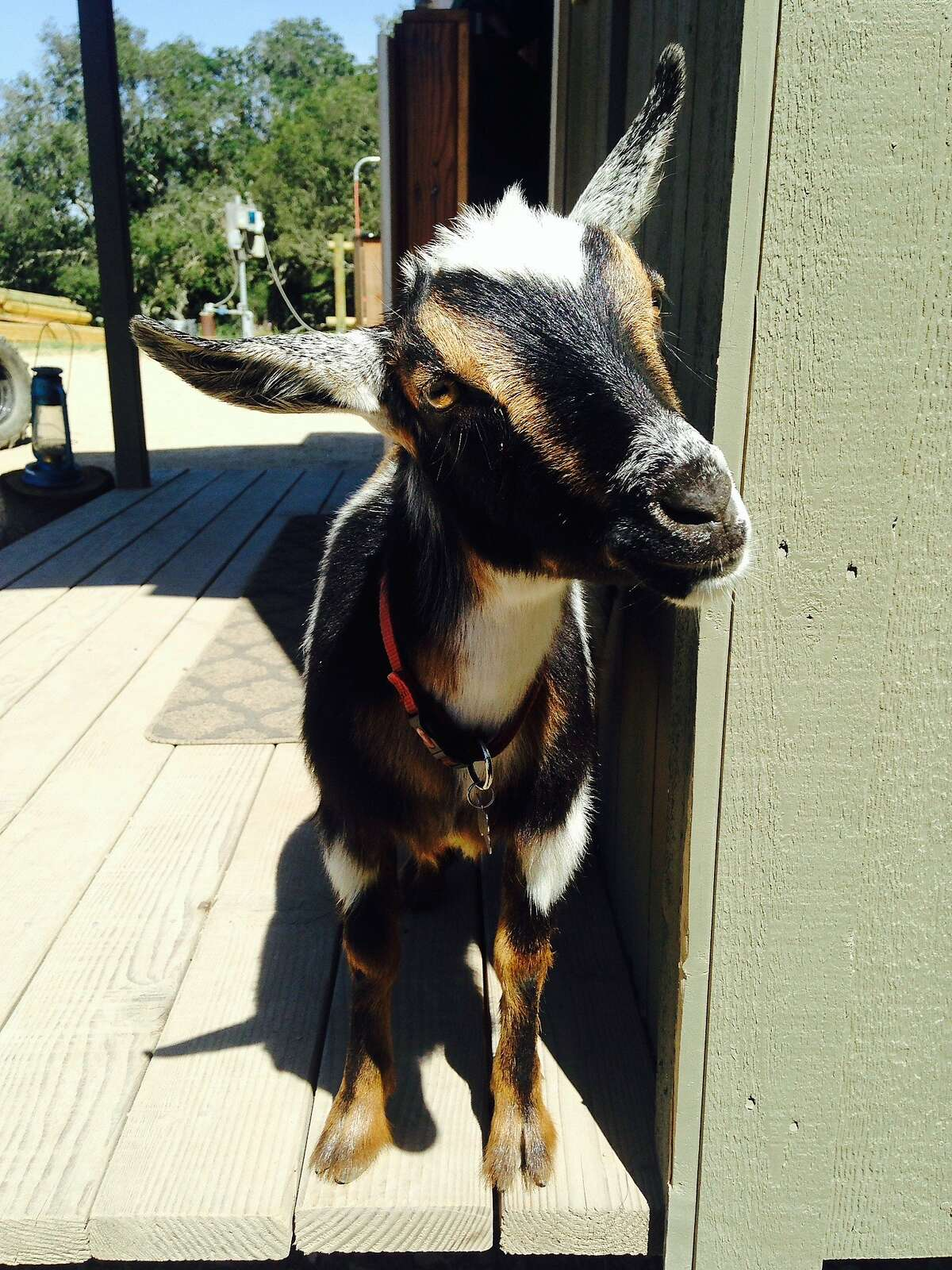 Otis the miniature goat, nicknamed Goatis, has become one of the star attractions at Carmel Valley Trail Rides.This holiday season, City Grazing is partnering with the San Francisco Fire Department and inviting residents to bring their clean, ornament-free Christmas trees to its location in Bayview to feed the 80 goats they keep on its grounds.