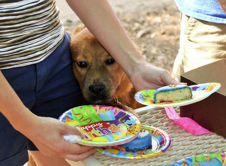 Canine celebrations, complete with doggie birthday cake, are becoming more popular. Photo: Express-News / ROBIN JERSTAD     210 254 6552