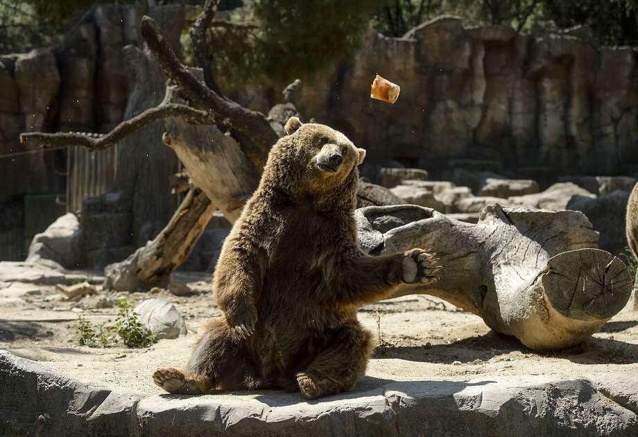 A frozen fruit is thrown by an employye to a grizzly bear on a hot summer day at Madrid's zoo on July 2, 2015. Spain is heading for a new heatwave which will last for at least nine days and extend to the rest of Europe, the national weather office said on July 1.   AFP PHOTO/ DANI POZODANI POZO/AFP/Getty Images Photo: Dani Pozo, AFP / Getty Images