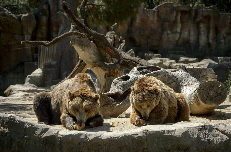 Two grizzly bear eat frozen fruits on a hot summer day at Madrid's zoo on July 2, 2015. Spain is heading for a new heatwave which will last for at least nine days and extend to the rest of Europe, the national weather office said on July 1. AFP PHOTO/ DANI POZODANI POZO/AFP/Getty Images Photo: Dani Pozo, AFP / Getty Images