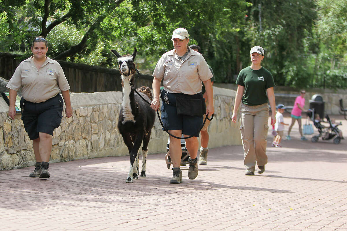 Jessica Adam, mammal keeper at the San Antonio Zoo, leads Kuzco the Llama on a walk through the grounds on Thursday, July, 2, 2015. Kuzco is schuduled to be the lead animal in the Zoo's 4th of July parade. MARVIN PFEIFFER/ mpfeiffer@express-news.net