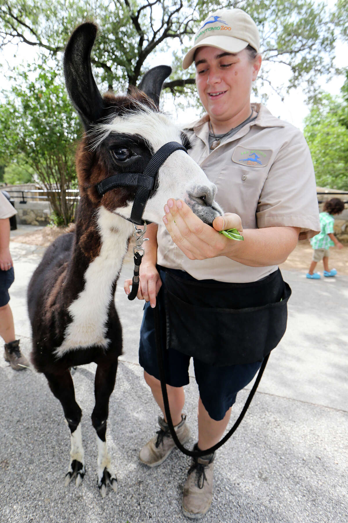 Kuzco the Llama gets a handfull of spinach from Jessica Adam, mammal keeper at the San Antonio Zoo, after a walk through the grounds on Thursday, July, 2, 2015. Kuzco is schuduled to be the lead animal in the Zoo's 4th of July parade. MARVIN PFEIFFER/ mpfeiffer@express-news.net
