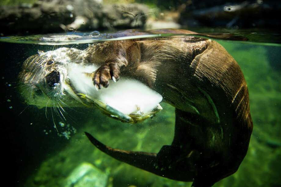 "In preparation for the Fourth of July, Woodland Park Zoo's river otters nosh on star-shaped popsicles, watermelon, corn on the cob and other picnic foods during the ""Red, White and Zoo"" event, photographed Thursday, July 2, 2015, at Woodland Park Zoo in Seattle. Photo: JORDAN STEAD, SEATTLEPI.COM / SEATTLEPI.COM"