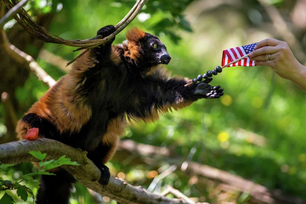 In preparation for the Fourth of July, Woodland Park Zoo's red ruffed lemurs nosh on star-shaped popsicles, watermelon, corn on the cob and other picnic foods.