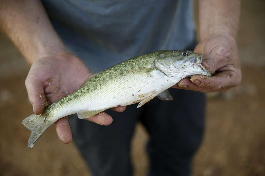 Will Epperson of Big Bend holds a spotted bass after hooking it from Lake Shasta, CA, on Wednesday, July 1, 2015. Mercury levels in bass and catfish in Lake Shasta may be higher than reported in state fishing guidelines, posing a threat to human health. Photo: Terray Sylvester, The Chronicle