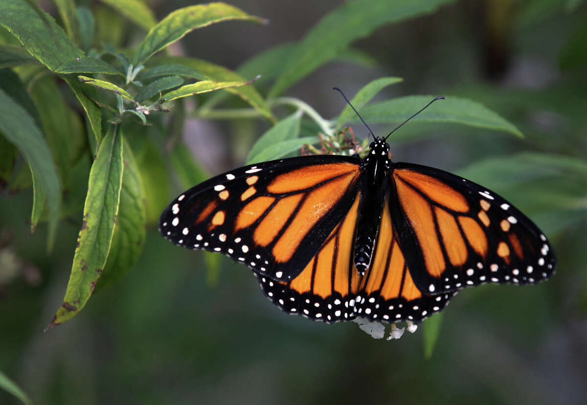 """Environmental groups say the monarch population fell from about 1 billion in the mid-1990s to just 35 million last winter. Texas is a major flyway for the butterfly's annual migration. The monarch butterfly that Maraleen Manos-Jones, the """"Butterfly Lady"""", brought to the San Antonio Botanical Garden, that had lost it's way in Albany. Monday, Nov. 5, 2012."""