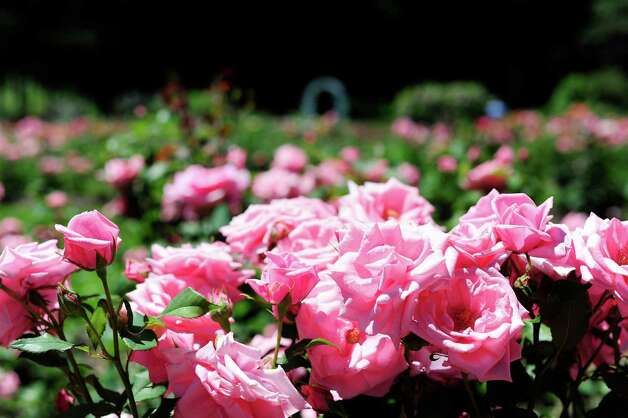 Roses are in full bloom at the rose garden in Central Park on Thursday, June 19, 2014, in Schenectady, N.Y.   (Paul Buckowski / Times Union) Photo: Paul Buckowski / 00027349A