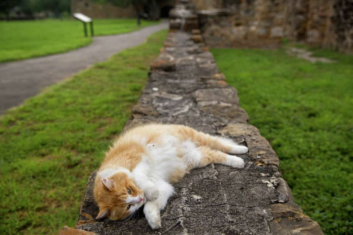 Moses, the cat owned by Brother Jerome Wolnik, lounges at Mission San Juan Capistrano in San Antonio, Texas. Ray Whitehouse / San Antonio Express-News