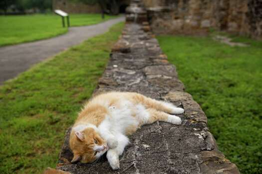 Moses, the cat owned by Brother Jerome Wolnik, lounges at Mission San Juan Capistrano in San Antonio, Texas. Ray Whitehouse / San Antonio Express-News Photo: Ray Whitehouse, Staff / San Antonio Express-News / 2015 San Antonio Express-News