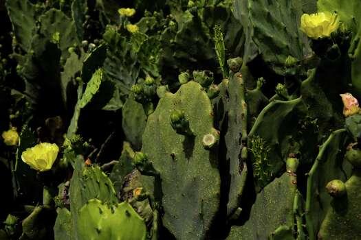 Cactus grows at Mission San Juan Capistrano in San Antonio, Texas. Ray Whitehouse / San Antonio Express-News Photo: Ray Whitehouse, Staff / San Antonio Express-News / 2015 San Antonio Express-News