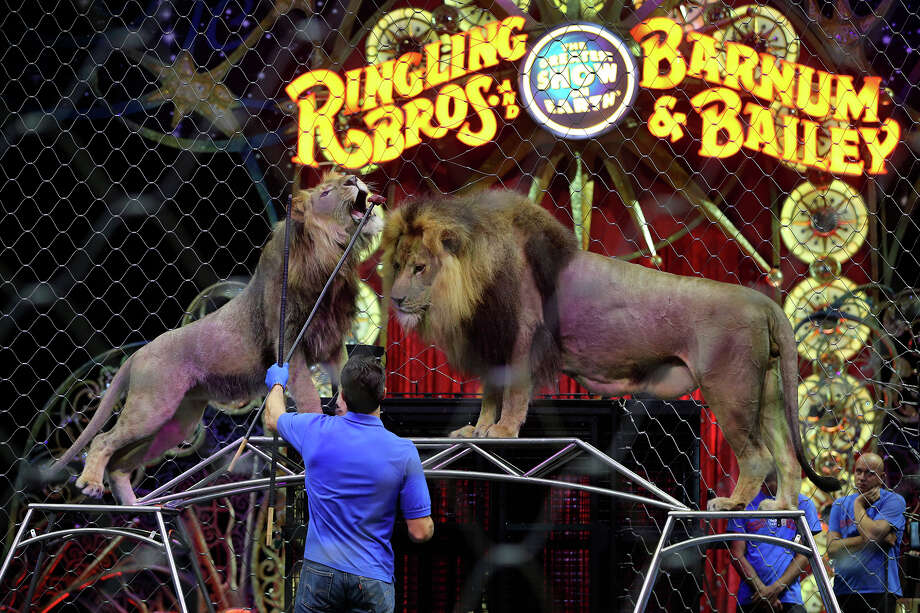 "Alexander Lacey feeds a piece of meat to ""King"" the lion as ""Masai"" the lion (right) watches during a private performance held Friday July 5, 2015 by The Ringling Brothers and Barnum & Bailey Circus at the Freeman Coliseum. The performance was held for veterans and their children and to highlight the Boot Campaign, a non-profit organization that promotes patriotism and provides assistance to military families. The circus will be in San Antonio July 3-5. Photo: John Davenport, Staff / San Antonio Express-News / ©San Antonio Express-News/John Davenport"