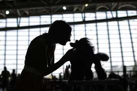 A participant prepares her Poodle dog during the International Dog Show competition in Turin, on July 4, 2015. AFP PHOTO / MARCO BERTORELLOMARCO BERTORELLO/AFP/Getty Images