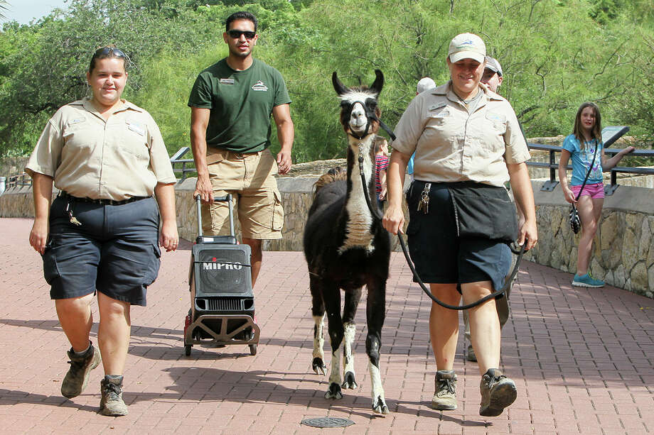Mammal keepers Jessica Adam (right) and Kara Sylvester and intern Johnathan Martin walk with Kuzco in the zoo Thursday. Photo: Marvin Pfeiffer /San Antonio Express-News / Express-News 2015