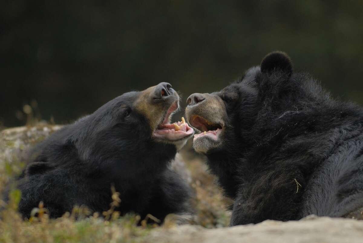 FILE - Asian Black Bears (Ursus thibetanus) tussle at the Darjeeling Zoo.