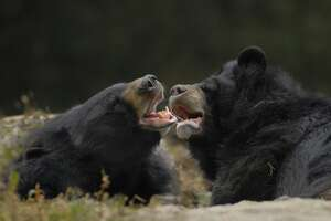 Man takes two years to figure out his dogs are black bears - Photo