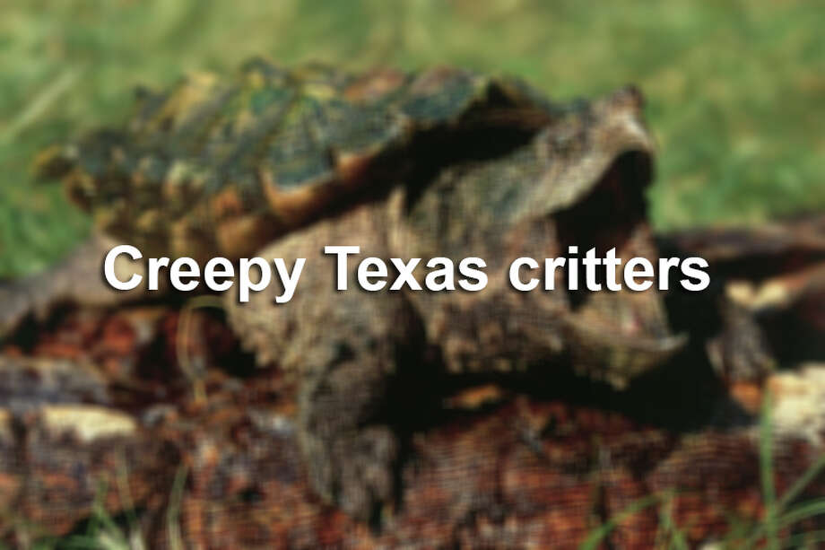 Click through the slideshow to see some of the creepiest critters known to be hanging around Texas.