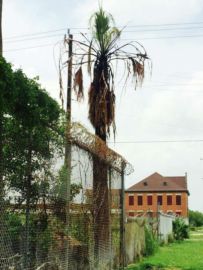 Palm tree at 33rd Street and Post Office in Galveston, the last target of the palm tree arsonist. Photo: Harvey Rice /Houston Chronicle / Houston Chronicle