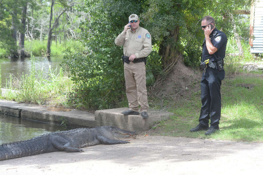 An 11-foot, 2-inch alligator was killed and brought to Burkart's Marina sometime Monday. Officials are conducting an investigation into who may have killed the animal and whether or not the alligator was the animal involved in the death of Tommie Woodward on July 3rd at the same location. Photo taken Monday 7/6/15 Jake Daniels/The Enterprise Photo: Jake Daniels / ©2015 The Beaumont Enterprise/Jake Daniels