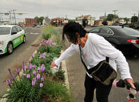 "Dee Smith, a member of the Friends of Cummings, West and Czecik Parks, waters plants on the median on Jefferson Street at the corner of Magee Avenue in Stamford, Conn., on Monday, July 6, 2015. Last year members of the Friends of Cummings, West and Czecik Parks removed 50 bags of fill out of the unattractive median strip and replaced it with organic topsoil and at least 50 plants meant to attract bees and butterflies. Member Kathleen Mathews says that they ""Just want to make the arteries going to the beaches beautiful."" She says, ""It's changing the neighborhood, there is not as much trash."""