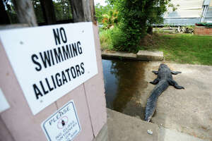 Man named Bear: Gator had to go - Photo