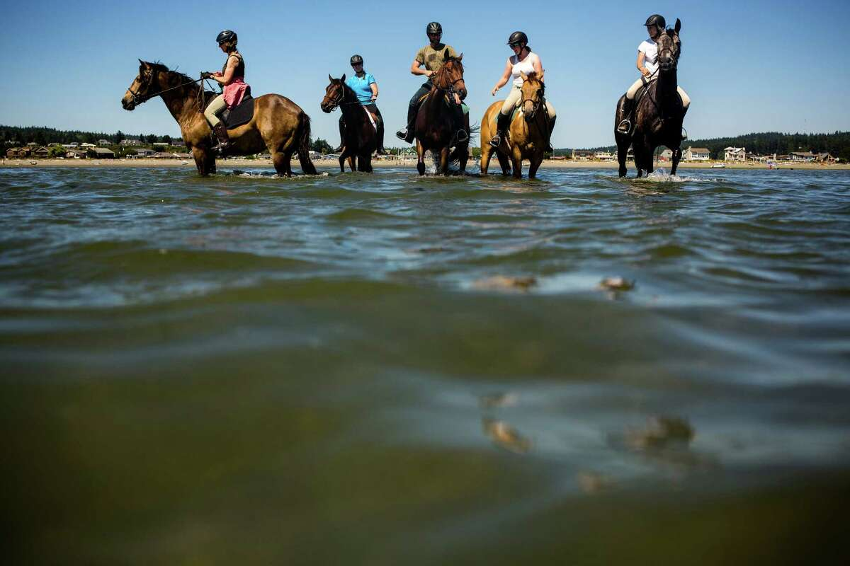 Patient riders work to train their horses to remain calm while trotting into the salty waters of Useless Bay Friday, July 3, 2015, on Whidbey Island, Washington.