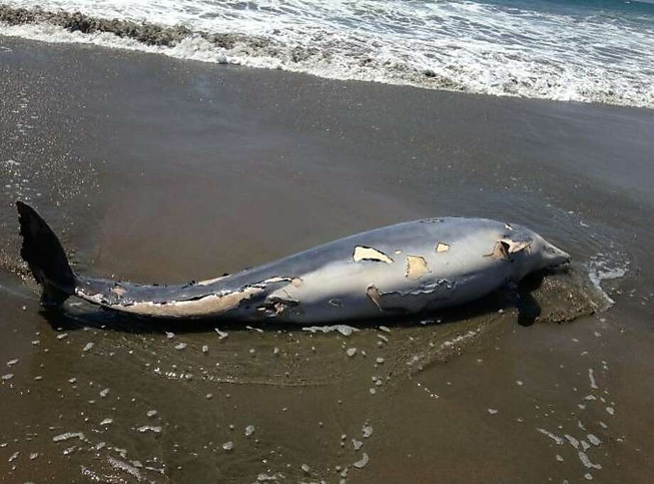 The body of a 700-pound bottlenose dolphin washed ashore on Ocean Beach on Monday, July 6, 2015. Photo: Courtesy, Joey DeRuy