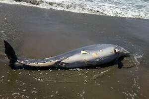 Dolphin, elephant seal wash up at Ocean Beach - Photo