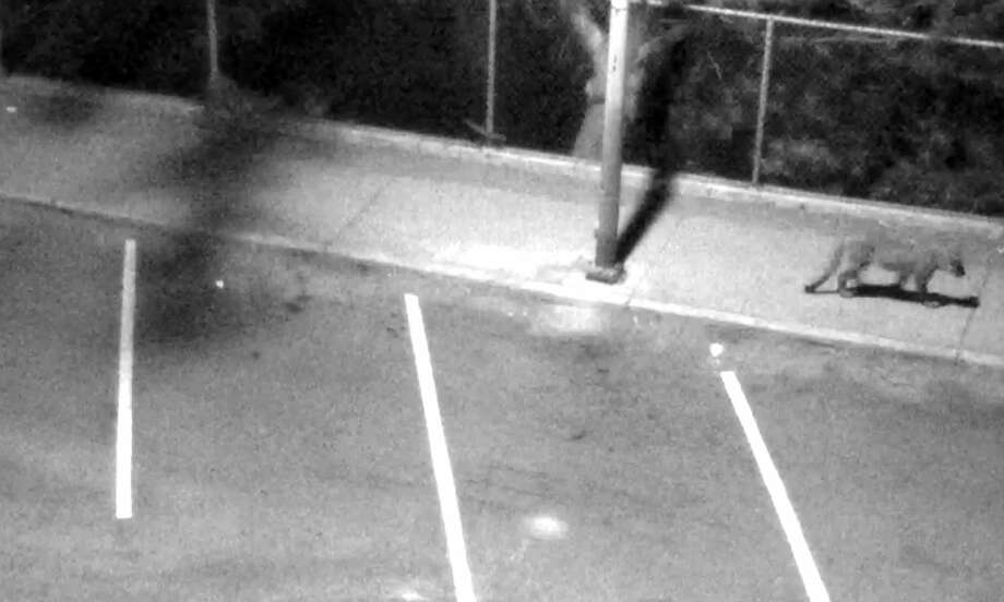 A mountain lion has been spotted in San Francisco recently, including here in the Sea Cliff neighborhood.