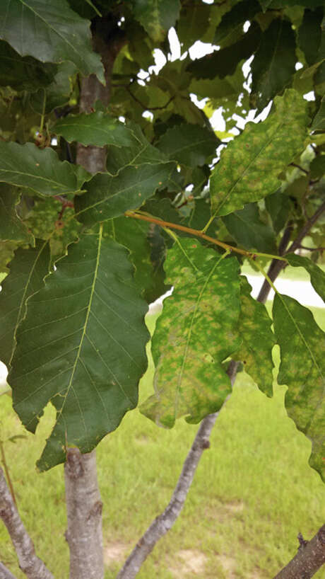 Blemishes on chinquapin oak leaves look like fungal leaf spot, an issue not common for the species. Photo: Courtesy Photo