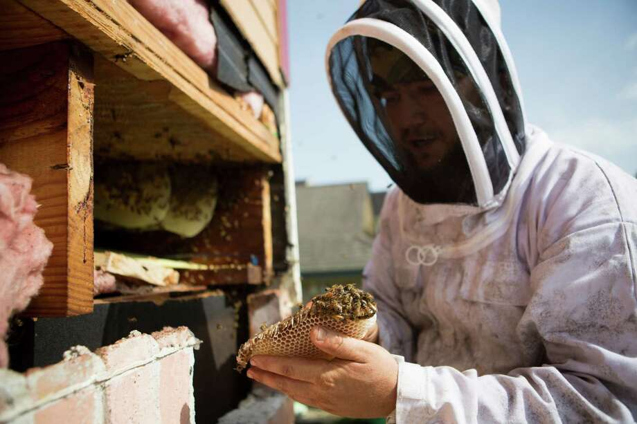 American Honey Bee Protection Agency beekeeper Michael Hanan on Wednesday removes a honeycomb and looks for a queen bee during an extraction at a house in southsest Houston, seen below\ Photo: Marie D. De Jesus, Staff / © 2015 Houston Chronicle