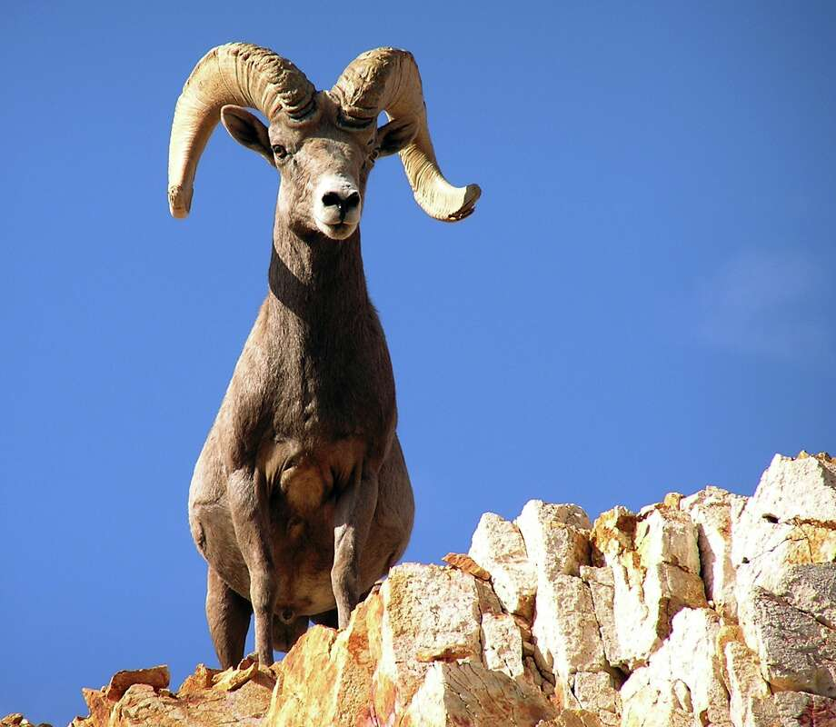 Texas' 2015-16 public hunting draw-permit program includes a guided hunt for desert bighorn sheep among the more than 7,000 permits to be issued through drawing of online applicants. Photo: HO / Nevada Department of Wildlife
