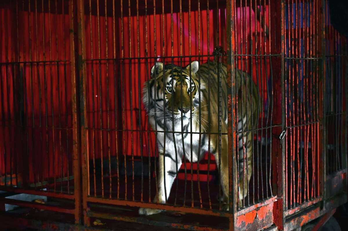 A tiger is seen in a cage at the
