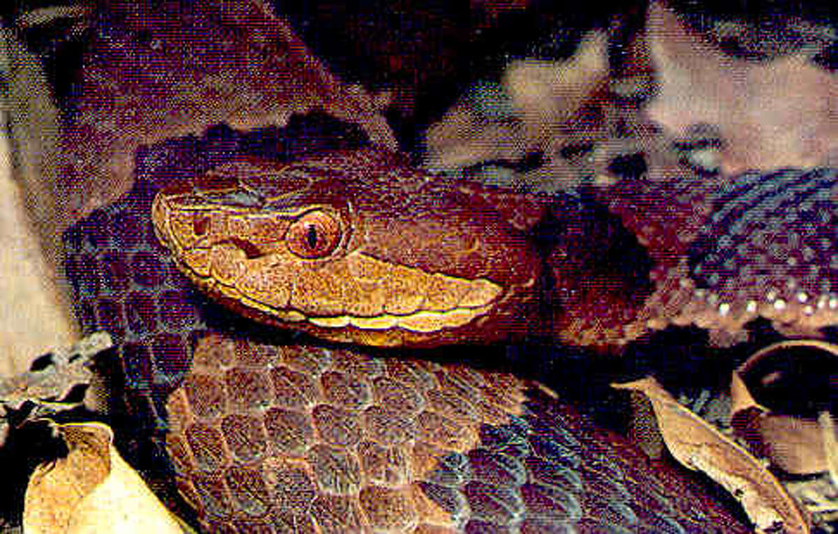 Northern copperhead, found in Connecticut