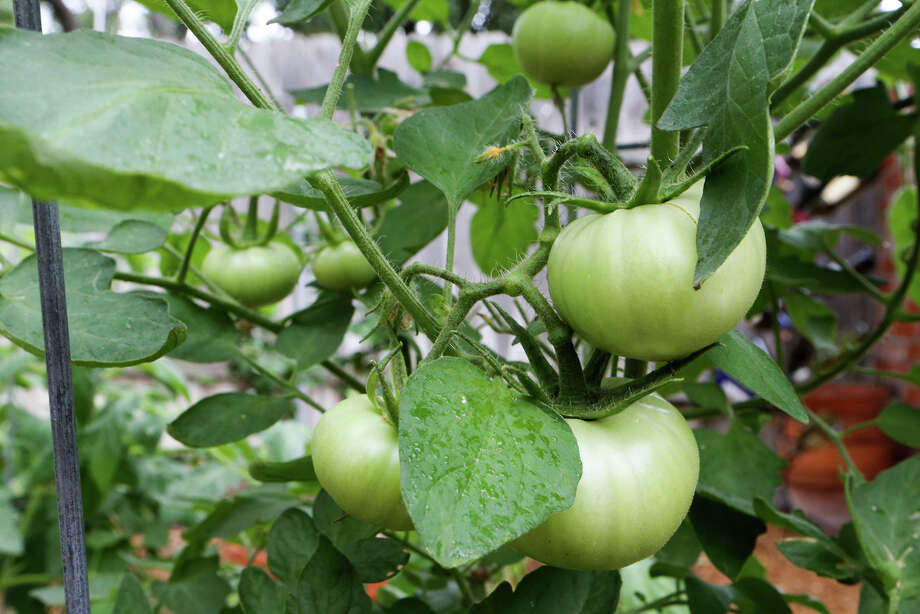 Get going on the fall tomatoes in July so freezing weather doesn't claim your crop. Photo: Express-News File Photo / Express-News 2014
